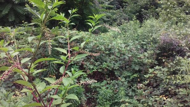 Poke growing with bramble-berries